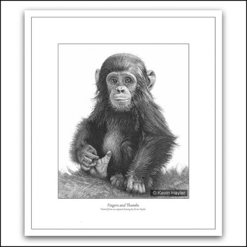baby chimp playing with its toes pencil drawing